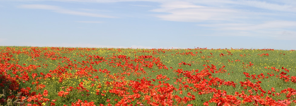 Poppy Field - The Wolds
